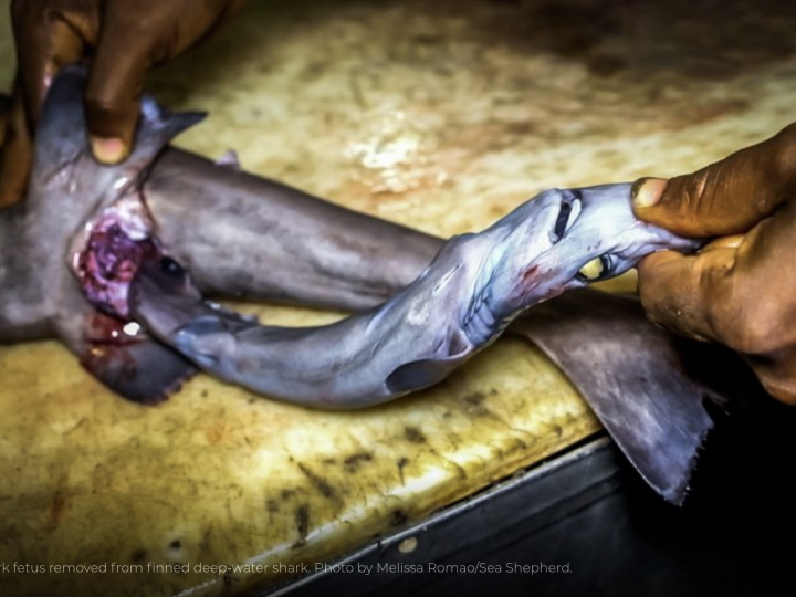 Arrest of poaching vessels shows shark liver oil production could drive species to extinction