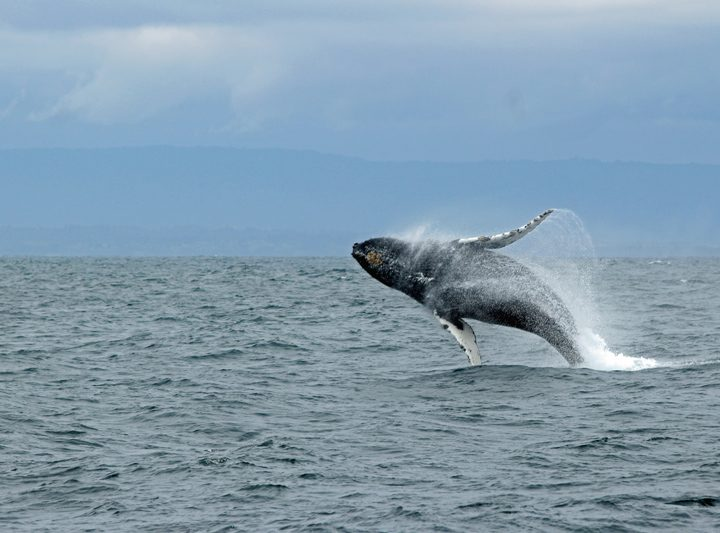 Triple breach delighting tourists on a whale-watching cruise